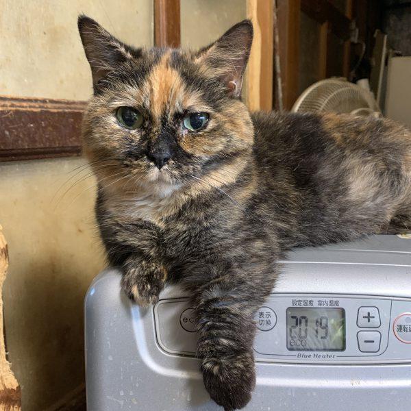 マンチカンという猫